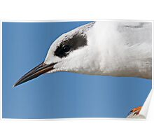 Forster's Tern Close Up Poster