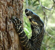 Goanna in tree, Bombah Point, NSW (1) by DashTravels