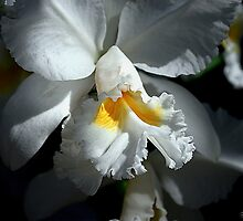 White Cattleya by Mattie Bryant