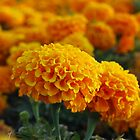 Yellow Flowers by Nikola Penkov