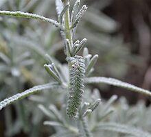 lavender leaf by Phrancis Whiteley