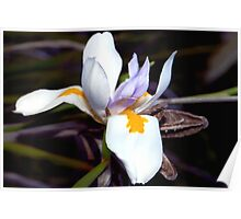 Wild iris with pods Poster