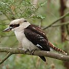 Kookaburra on Phillip Island by Justine Armstrong