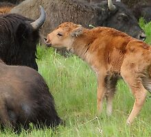 The Bison's Kiss by Inksphoto