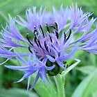 Blue Cornflower by PhotosByHealy