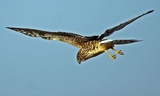 Hungry Northern Harrier Hawks by Chuck Gardner