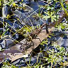 Dragonfly at our pond today (Jan 3rd)  by Ron Co