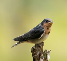 The young Welcome Swallows have emerged the last few days by Ron Co