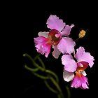 Vanda Orchid-3174  by Barbara Harris