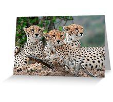 A Coalition of Cheetahs - Masai Mara Greeting Card