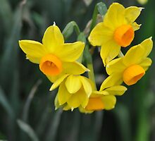 Daffodils by Jane  mcainsh