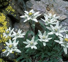Stella alpina (Leontopodium alpinum) by signolink