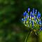 101229 Blue Mounttain Agapanthus by Jaxybelle