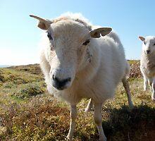 Curious sheep by xxcleoangelxx