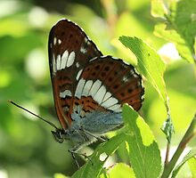 White Admiral butterfly on blackthorn by Michael Field