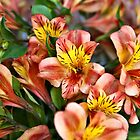Peruvian Lily by PhotosByHealy
