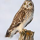 Short-eared Owl by Todd Weeks