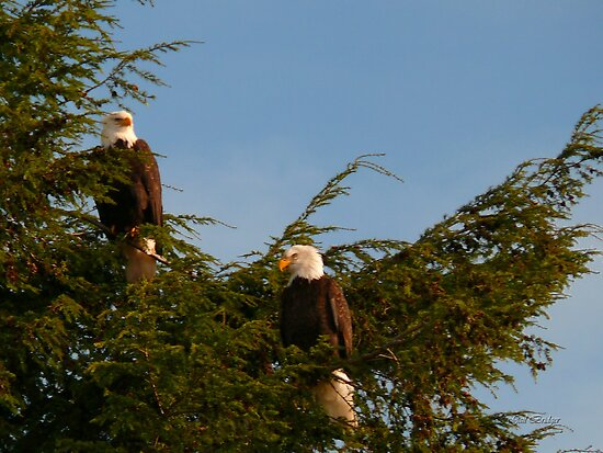 Two Bald Eagles  by Gail Bridger