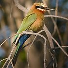 White Fronted Bee eater.  Botswana by Neville Jones