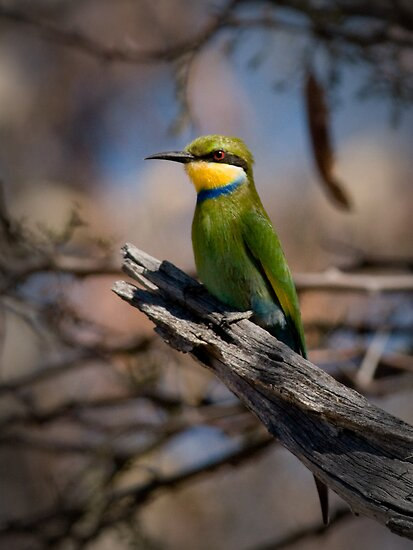 Swallow Tailed Bee Eater, Okavango, Botswana by Neville Jones