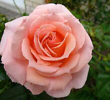 Unity Rose by MarianBendeth