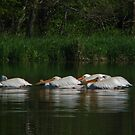 Several American Pelicans by swaby