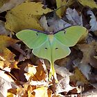 Luna Moth in Fall Leaves by Robert Regenold