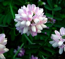 Crown Vetch (Coronilla Varia) by Marcia Rubin