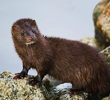 Mink at Huntington Beach by Paulette1021