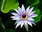 Water Lily by Dean Mullin