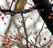 pair of Cedar waxwings by Lenny La Rue, IPA