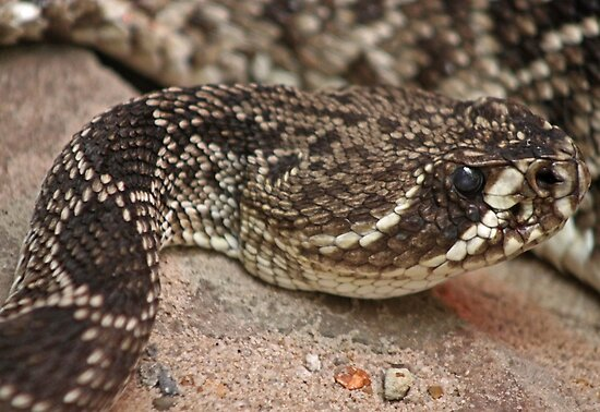 Baby eastern diamondback rattlesnake http www redbubble com people