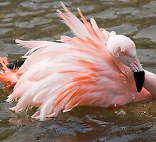 Flamingo by Lynne Morris