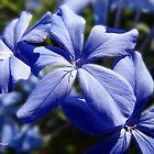 Blue Plumbago by ldermid75