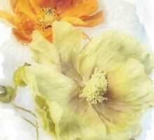 Soft Poppies by suzannem73