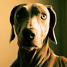Thoughtful Weim by TingyWende