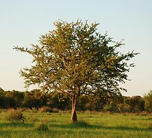 madikwe tree, south africa by mellychan