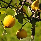 Italian Lemons in Cinque Terre by kweirich