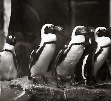 The Penguins of Como Zoo by Sharlene Rens