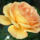 Apricot rose by durzey