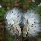 Milkweed, Steep Hollow Farm, Ithaca, NY by Christianne White