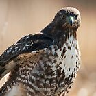 Portrait of a Hawk by David Friederich
