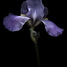 Purple Iris by Oscar Gutierrez