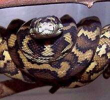 Morelia spilota variegata - North Western Carpet Python by yeldarb
