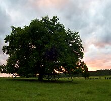 Oak Tree Sunset in The Yarra Valley by lewisc