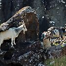 Wild goat and family by Matthias Keysermann