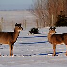Winter Whitetails by Larry Trupp