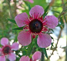 Manuka ( australian tea tree) by presbi