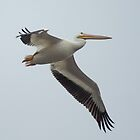 Great White Pelican by imagetj