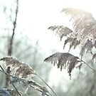 Grasses and Hoar Frost by Isabelle Lafrance